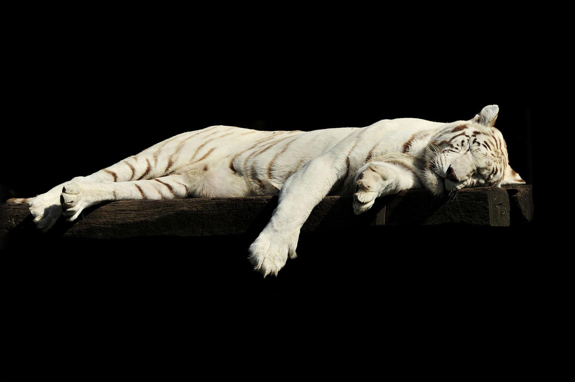 Droom tijger