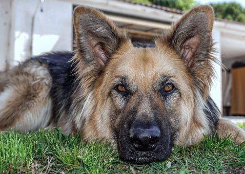 Dromen over een herdershond